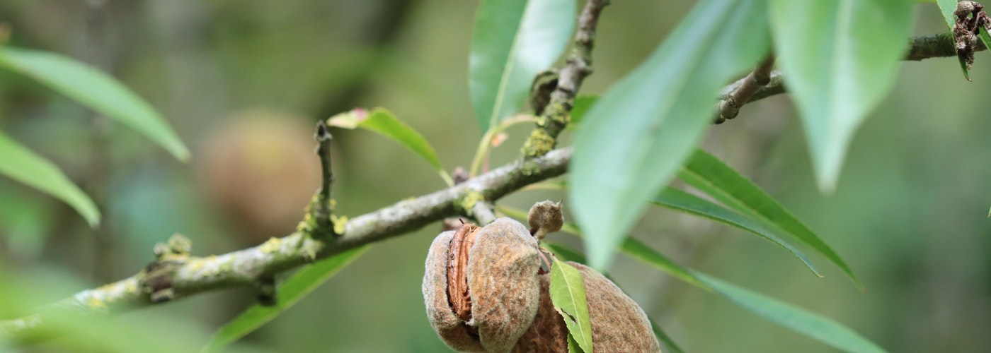 Almond Trees - Keeping them and using Produce